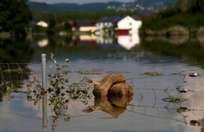 Погибший в воде олень