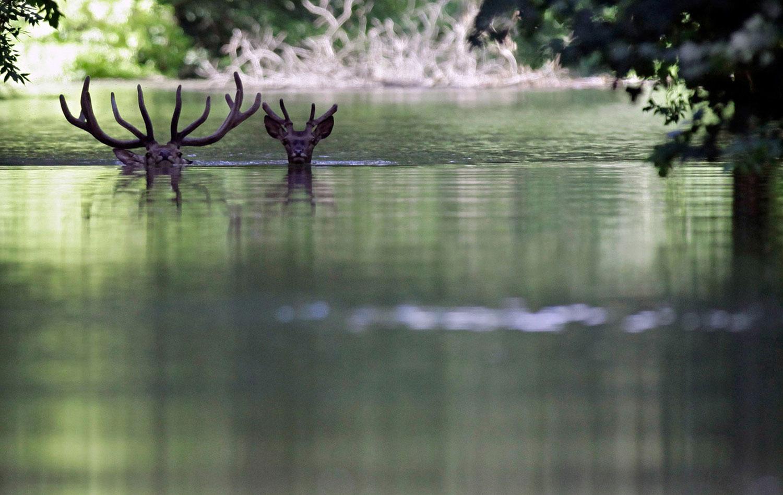два оленя переплывают затопленное шоссе