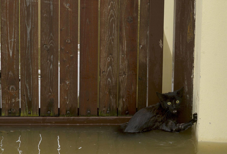 Кошка в паводковых водах