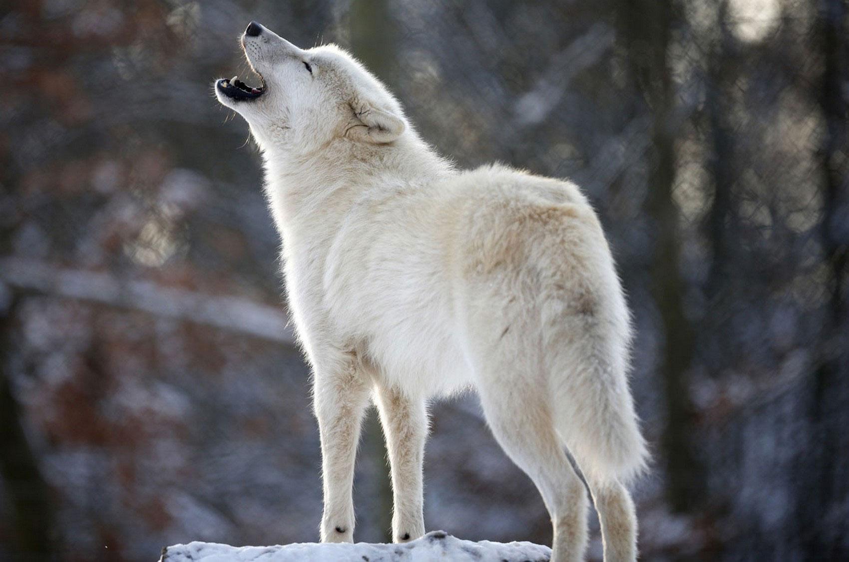 полярный волк, фото