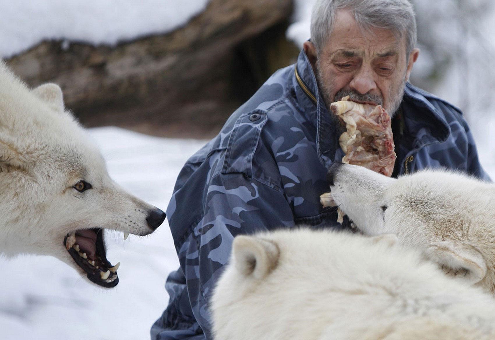 арктические волки берут мясо изо рта человека, фото