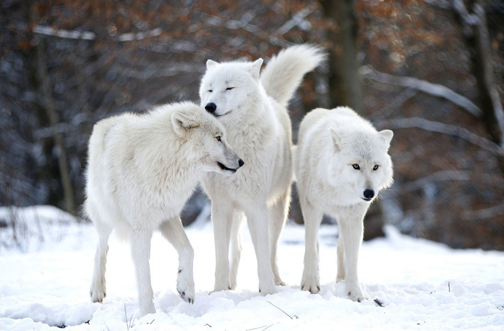 хищники в парке волков, фото