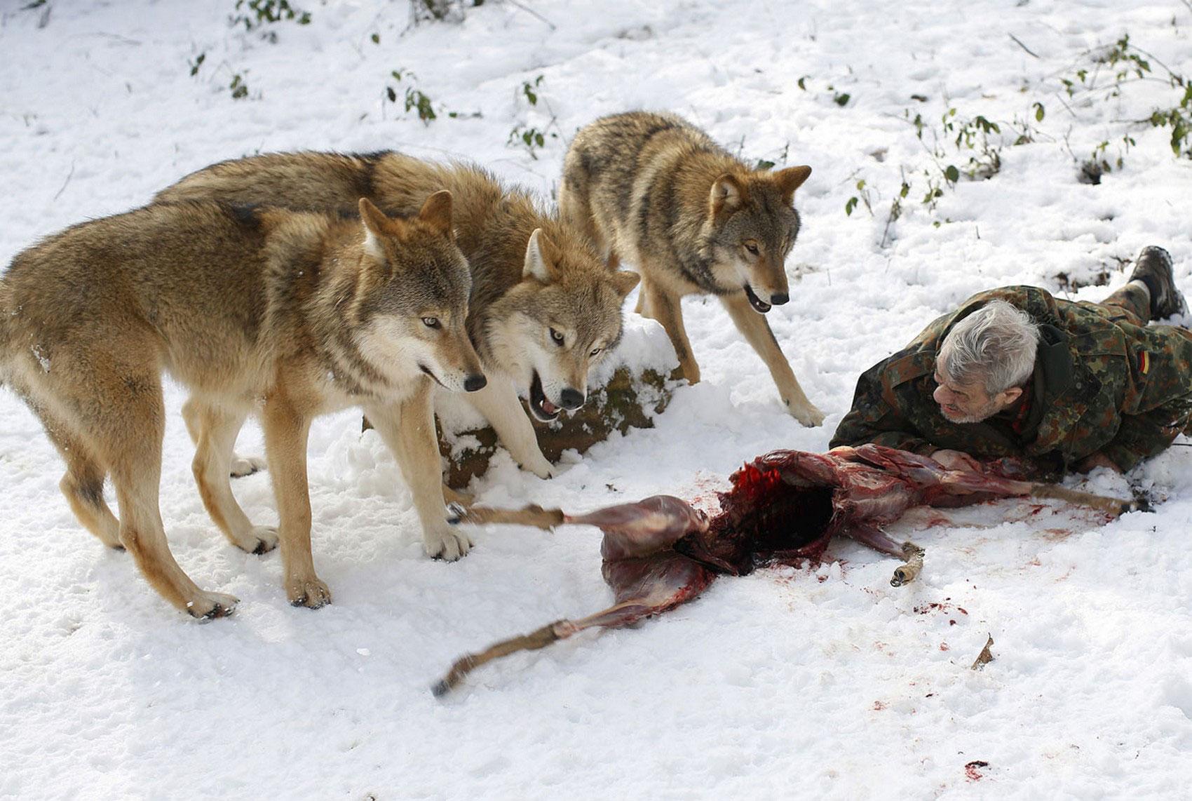 Монгольские волки, фото