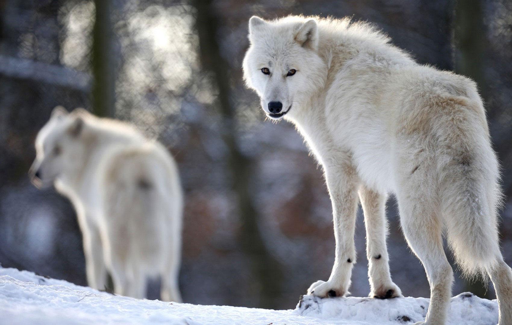 арктические волки на своей территории, фото