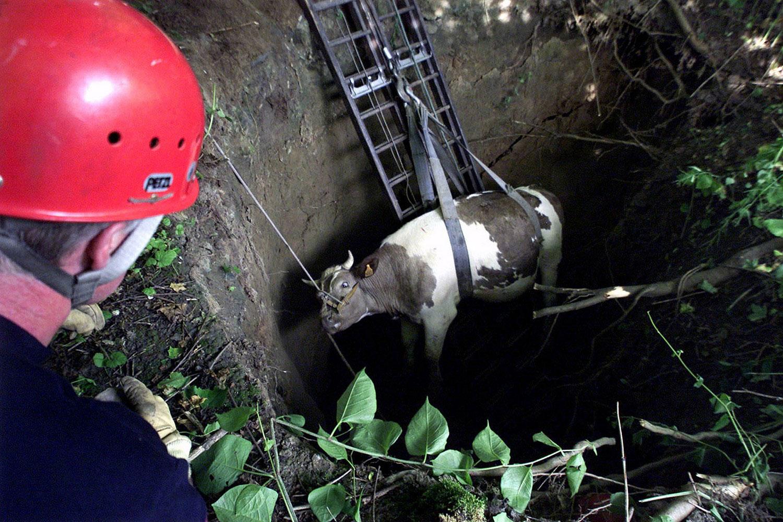 корову вытаскивают из ямы