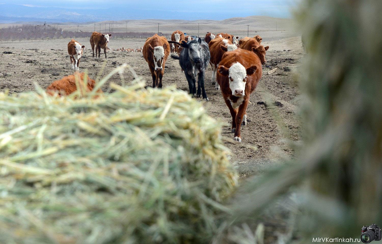 Стадо крупного рогатого скота