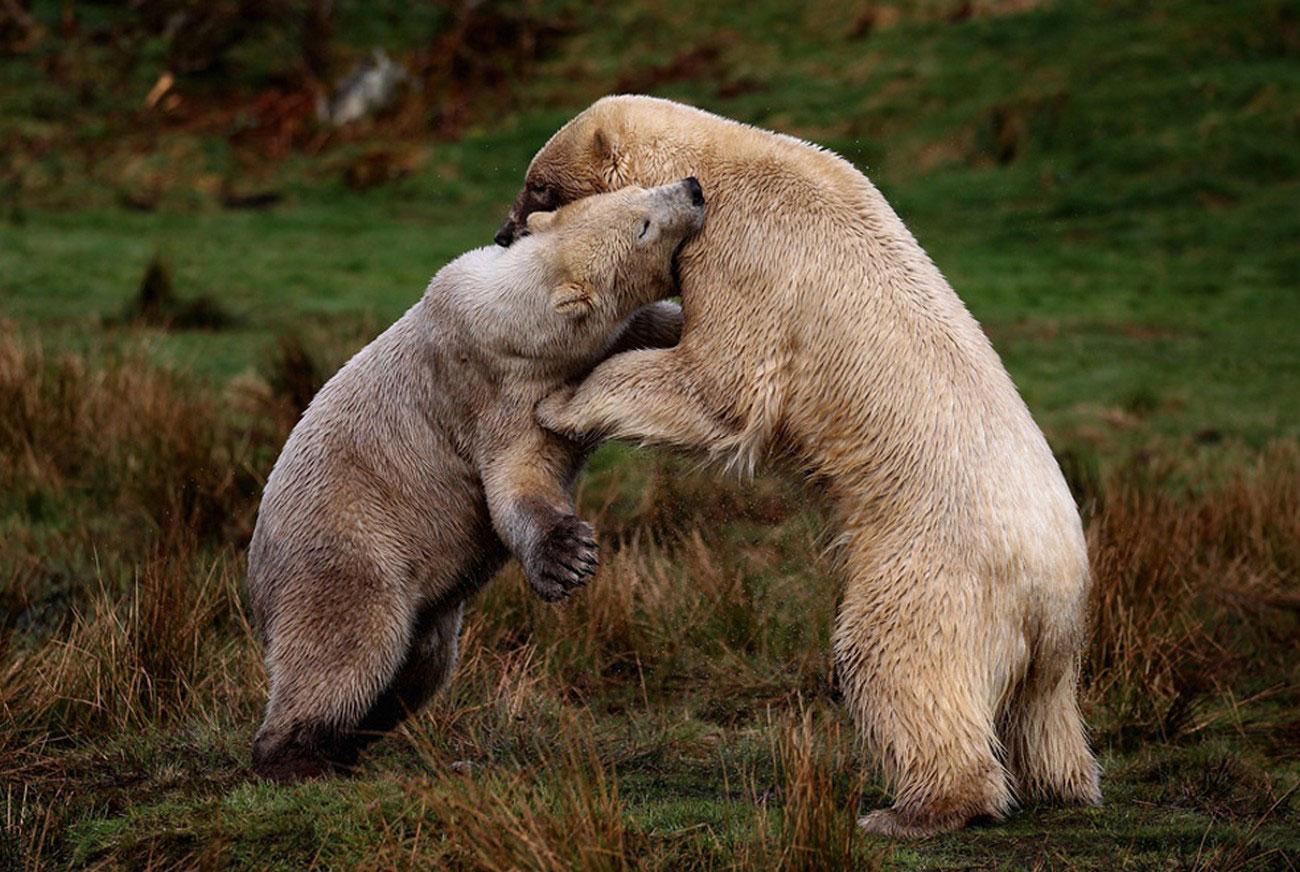 Два белых медведя, фото живой природы