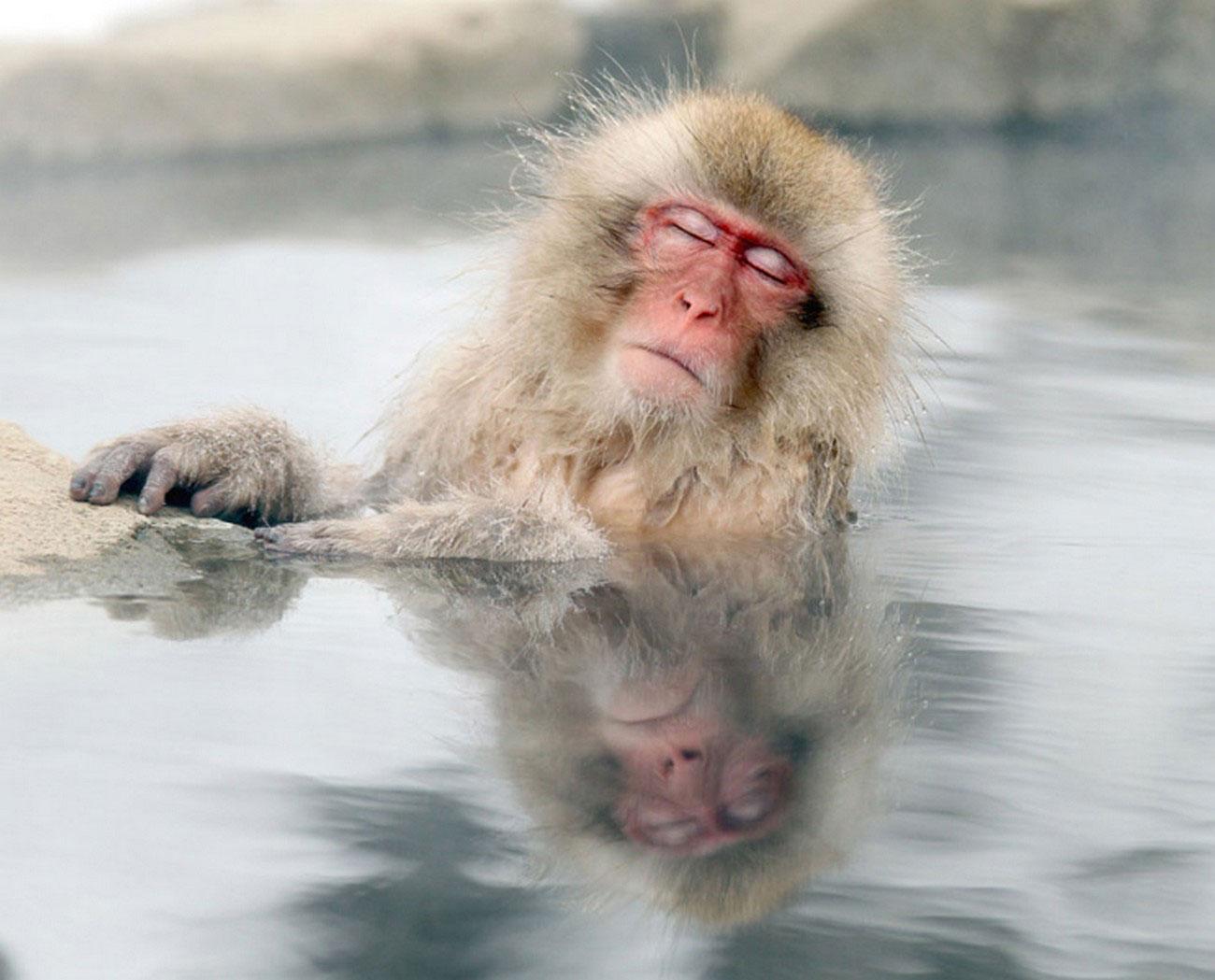 Японские макаки в природе, фото