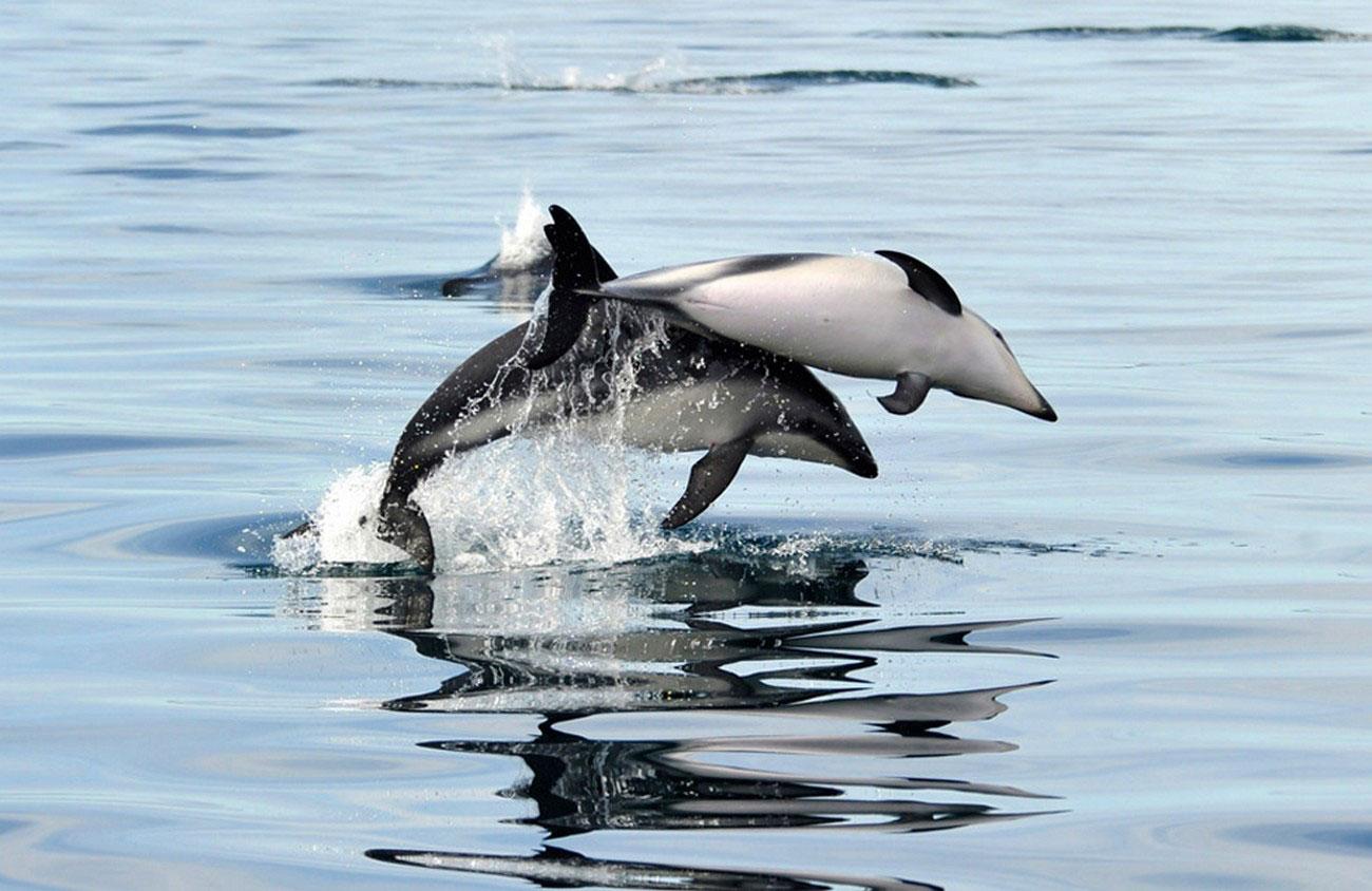 Дельфины Фиц-Роя в живой природе, фото