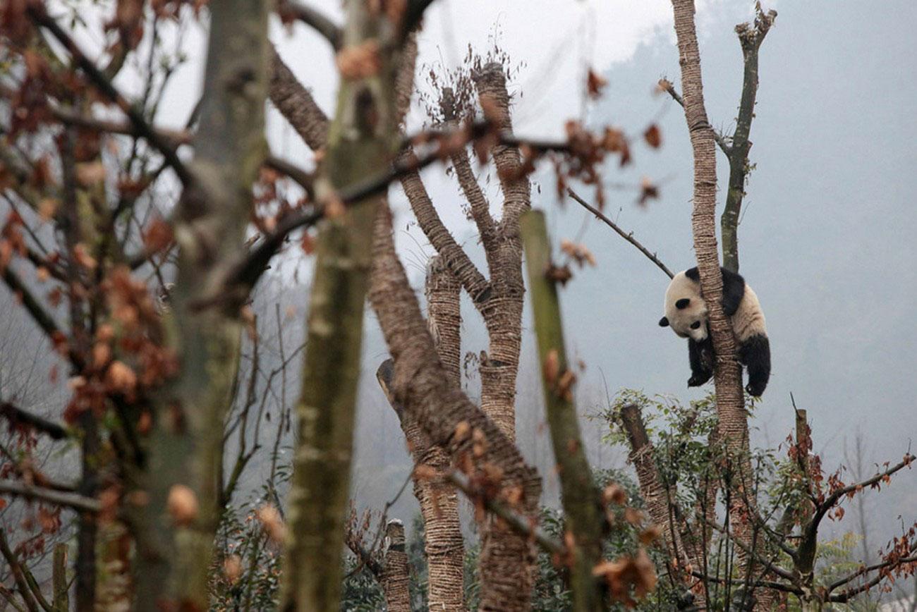 Гигантская панда, фото