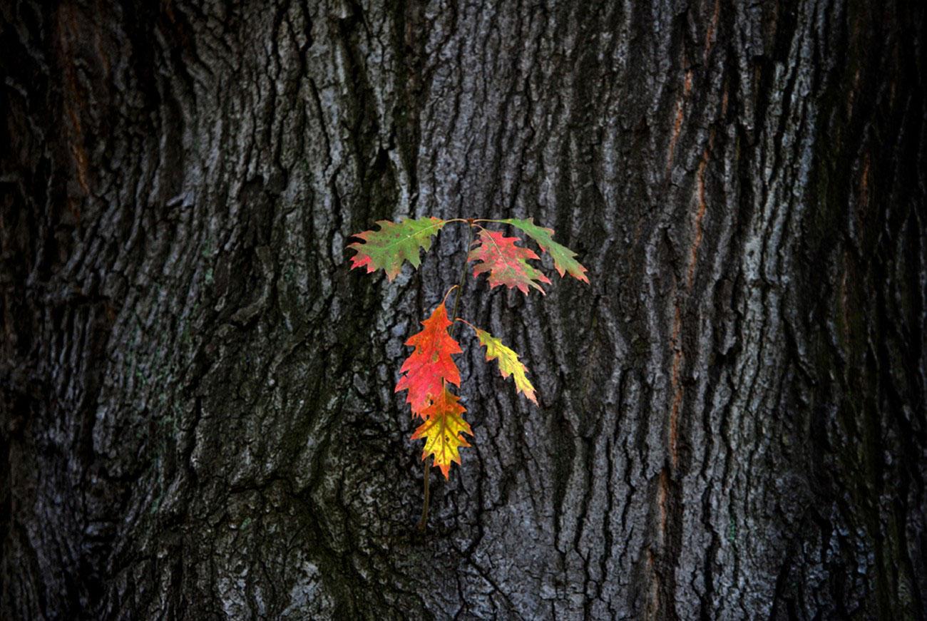 листья дуба, фото