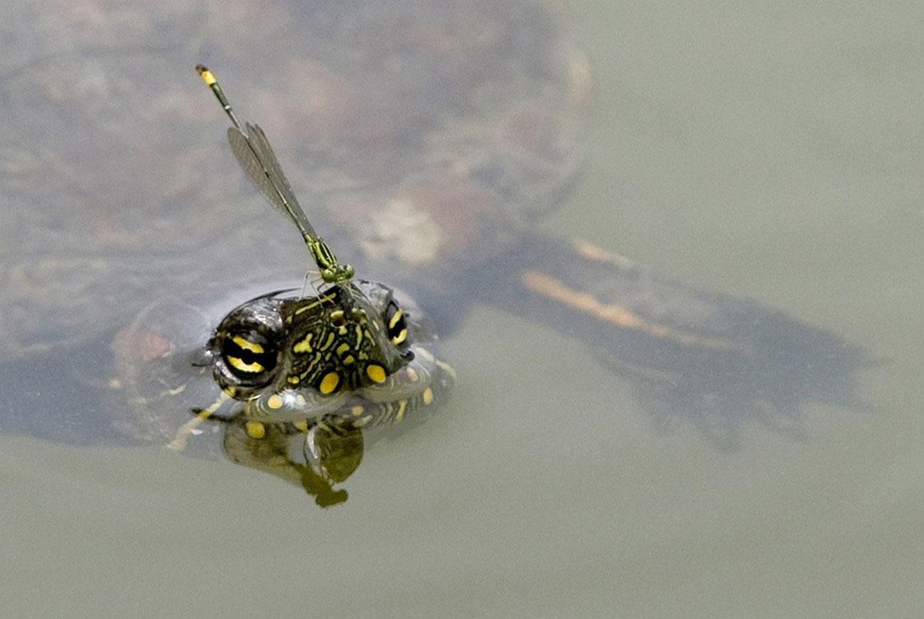 стрекоза верхом на черепахе, фото