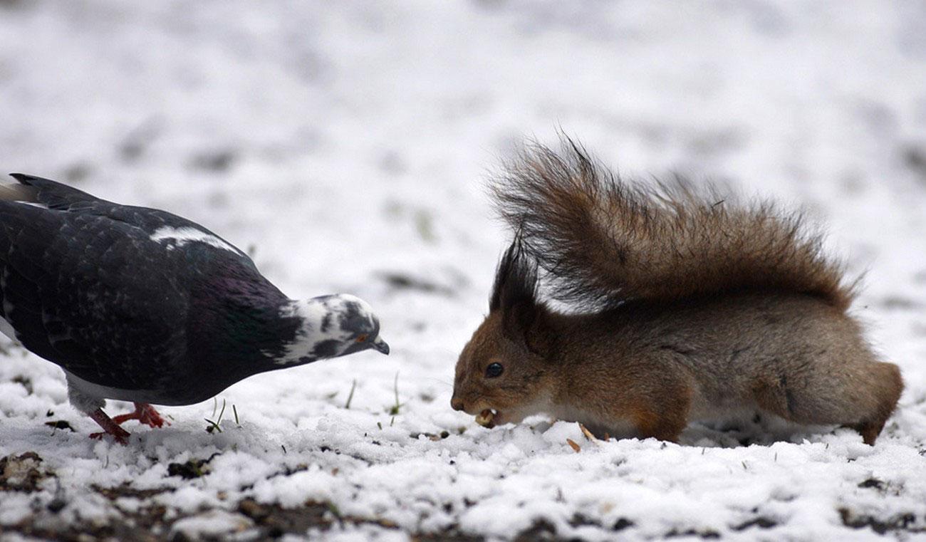 белка с голубем в борьбе за орех, фото