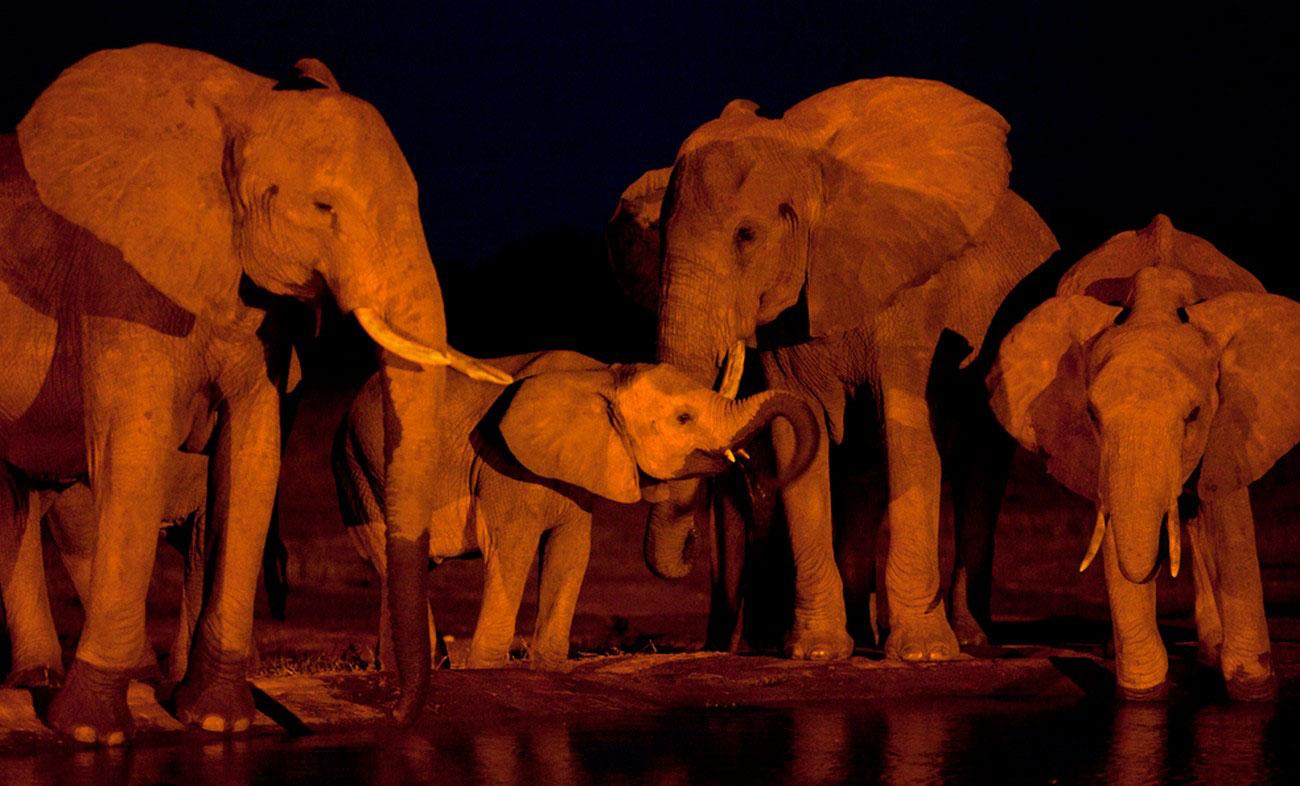слоны в живой природе, фото