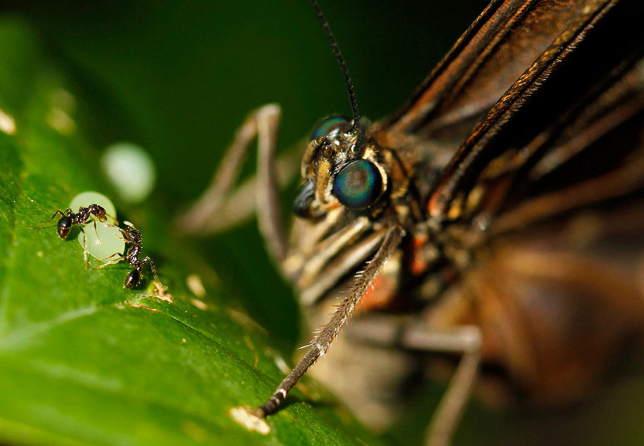 муравьи воруют яйца бабочки, фото