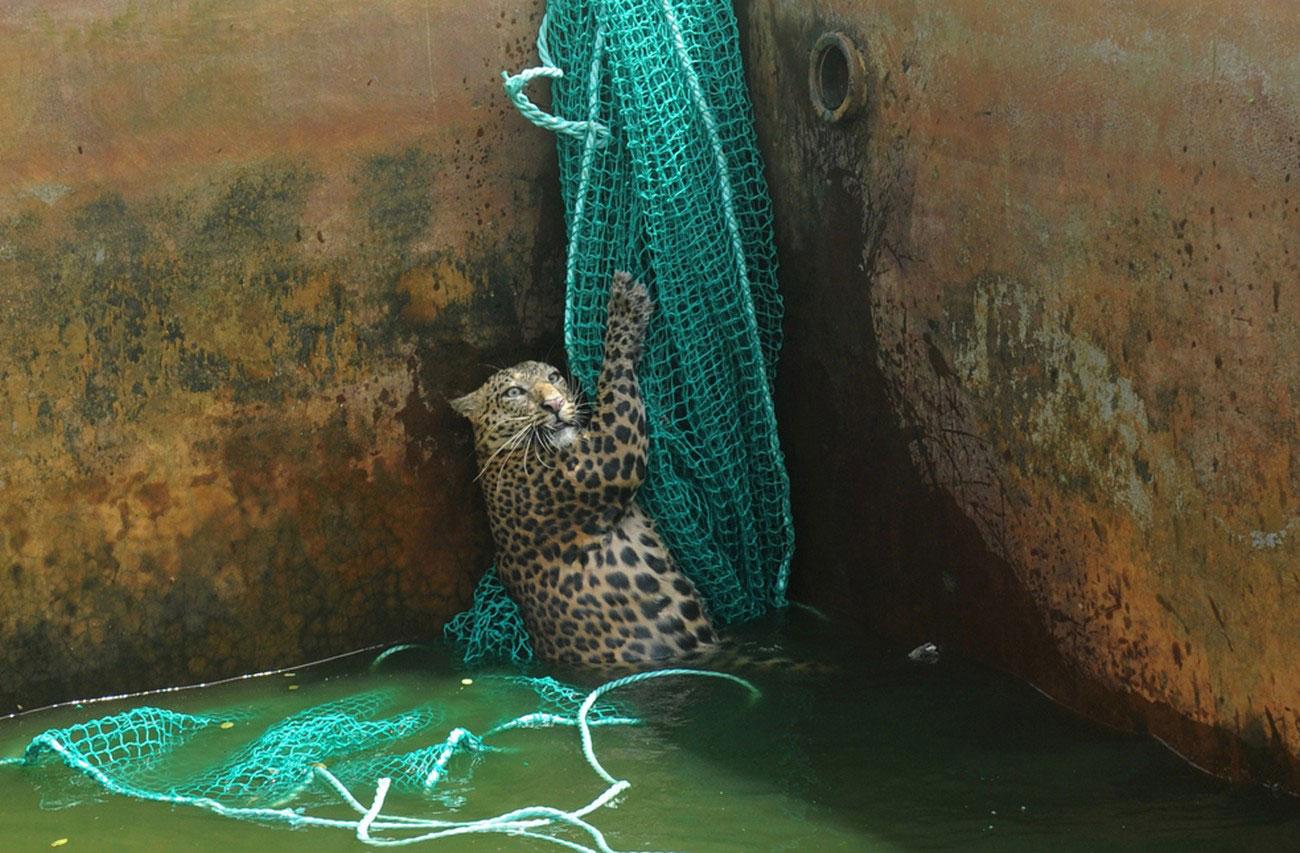 дикий леопард в живой природе, фото