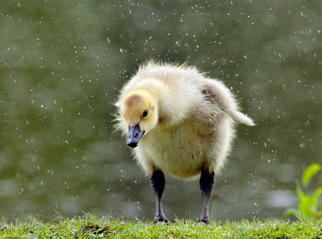 птенец лебедя, фото