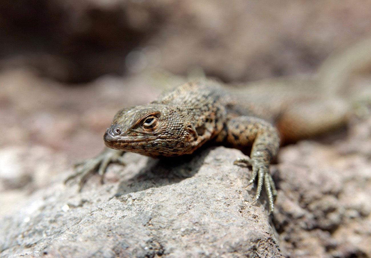 ящерица в живой природе, фото
