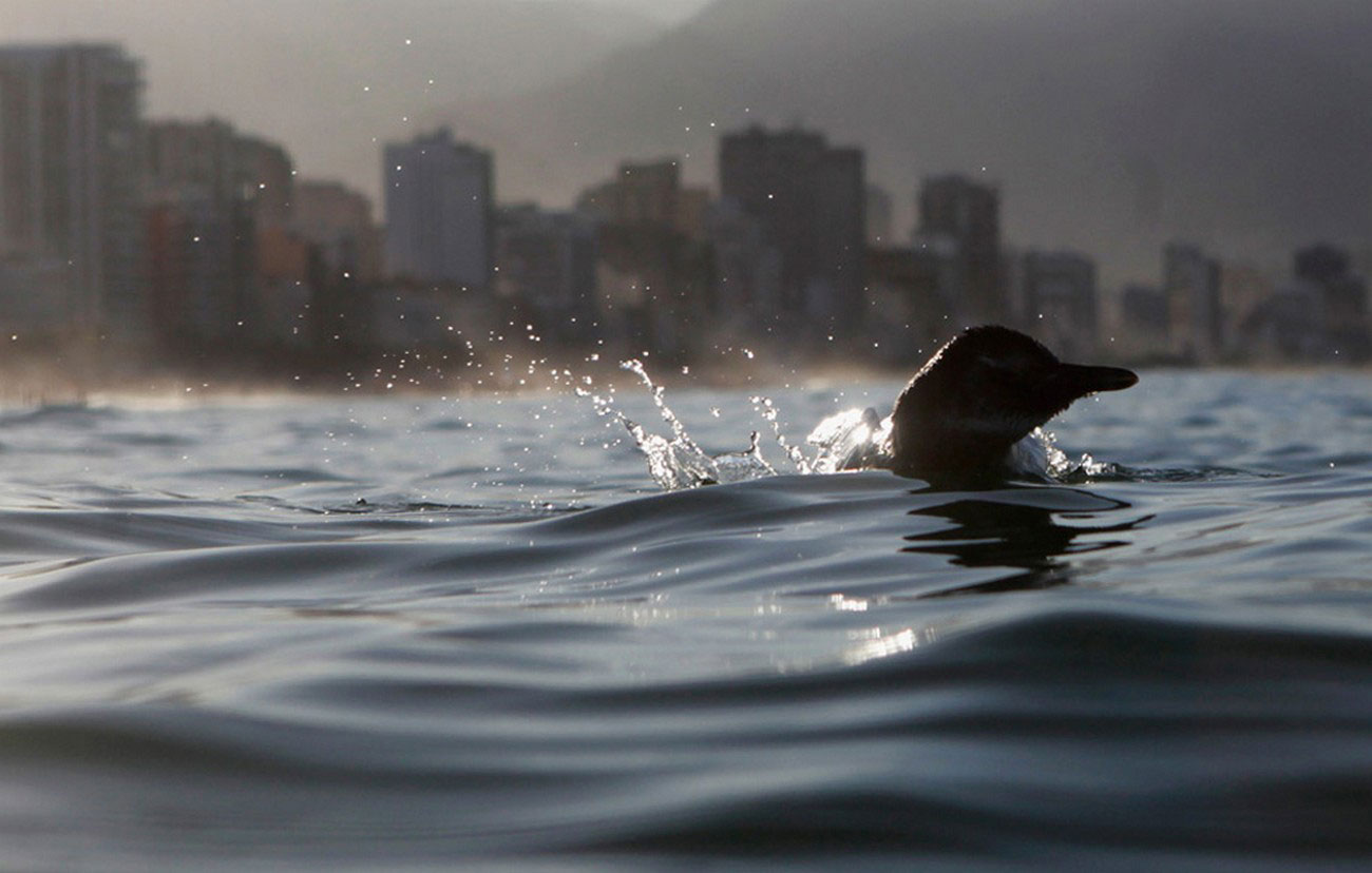 пингвин на пляже Бразилии, фото