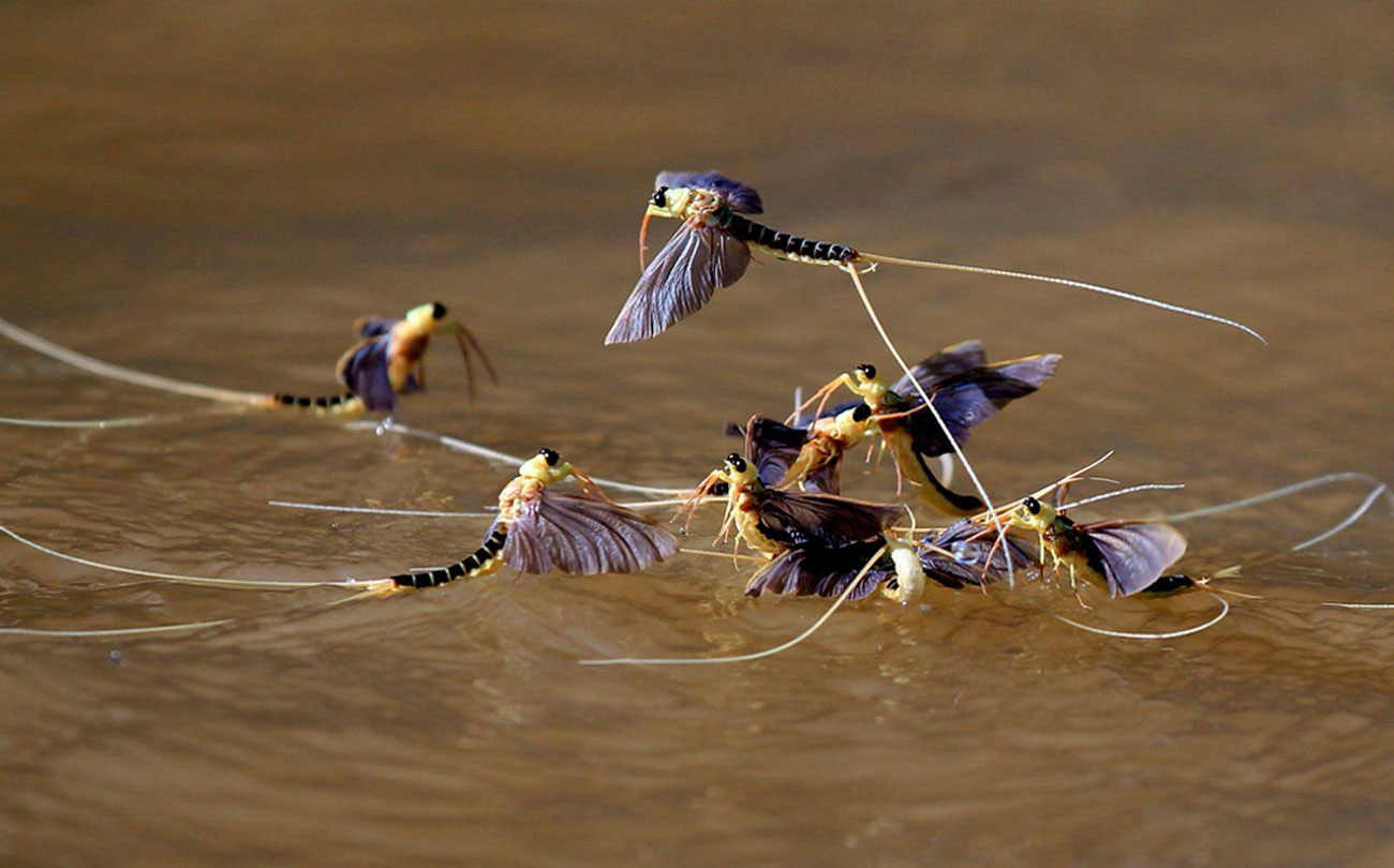 поденки в живой природе, фото