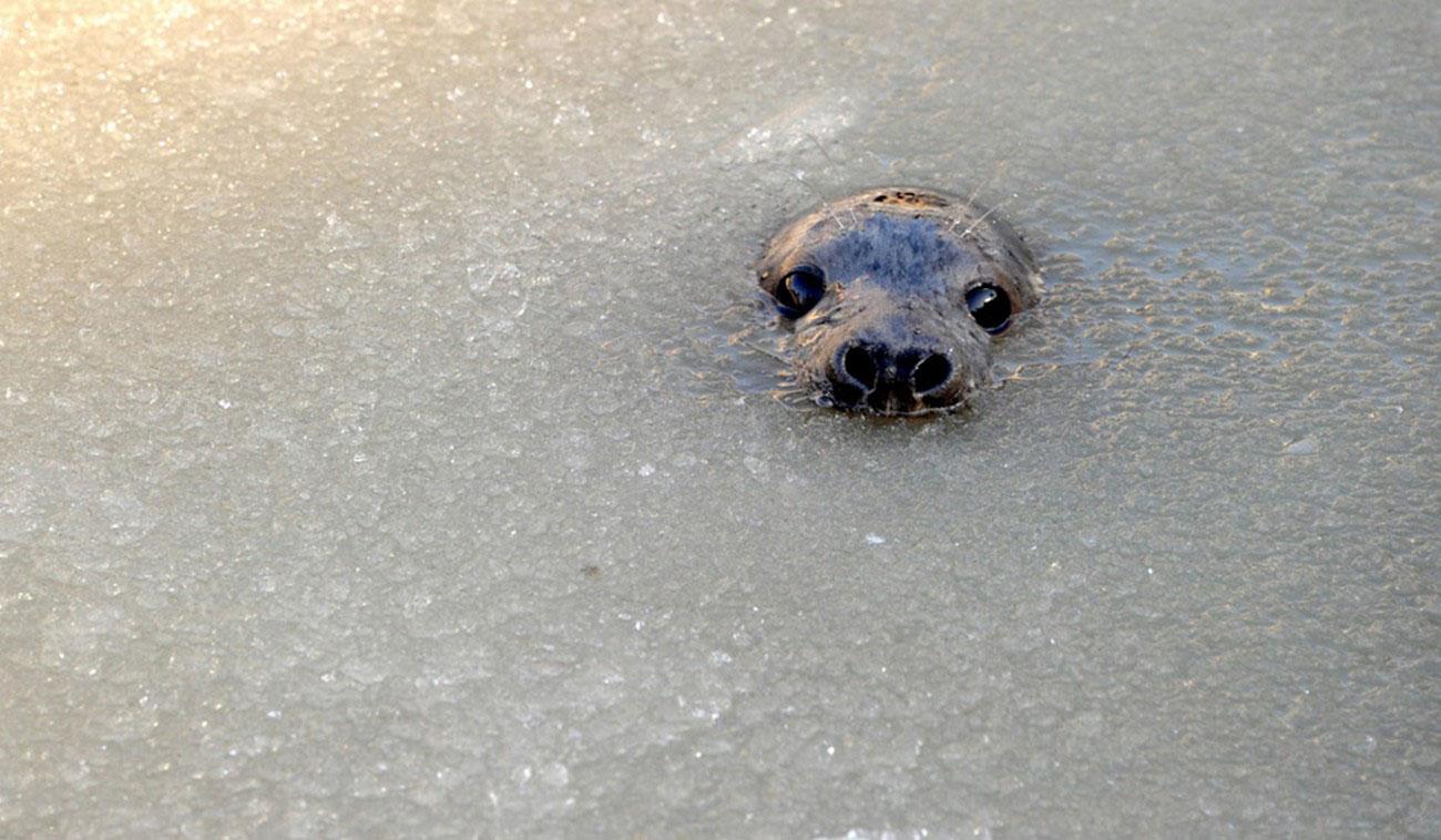 тюлень в воде, фото