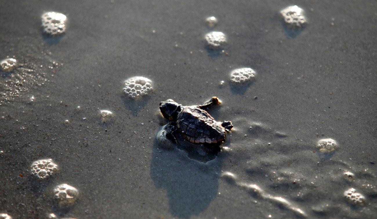 новорожденная черепаха, фото