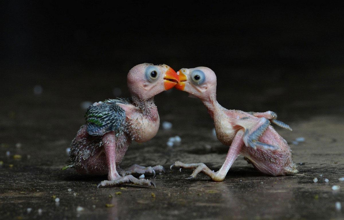 птенцы индийского попугая