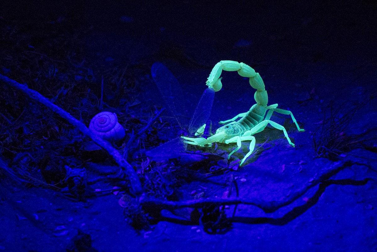 скорпион за поеданием добычи
