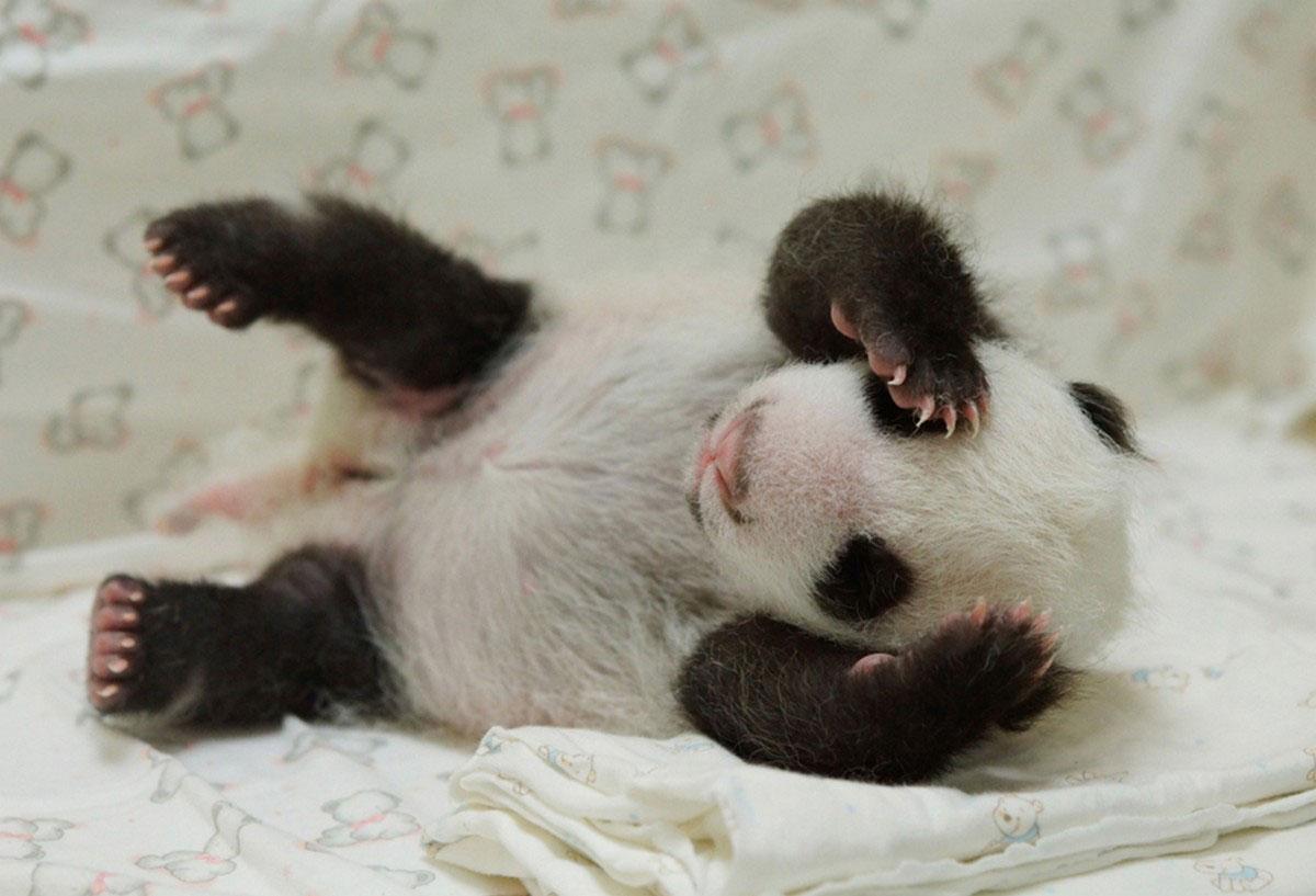 Новорожденный детеныш панды