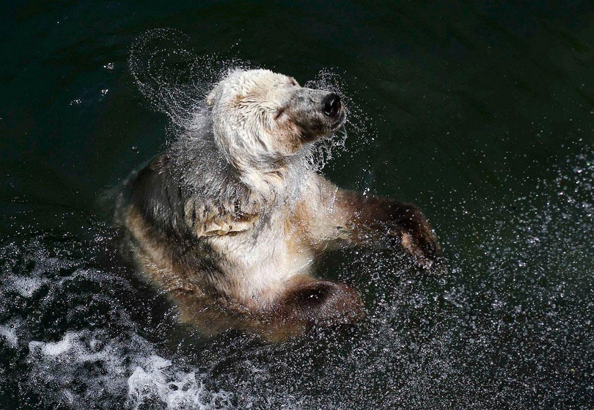 Белый медведь купается