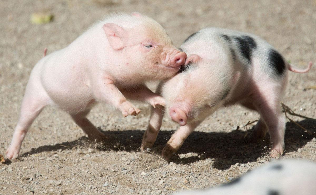 мини пиги свинки