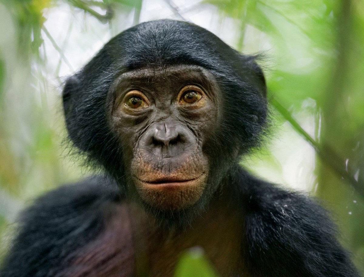 Бонобо, карликовый шимпанзе