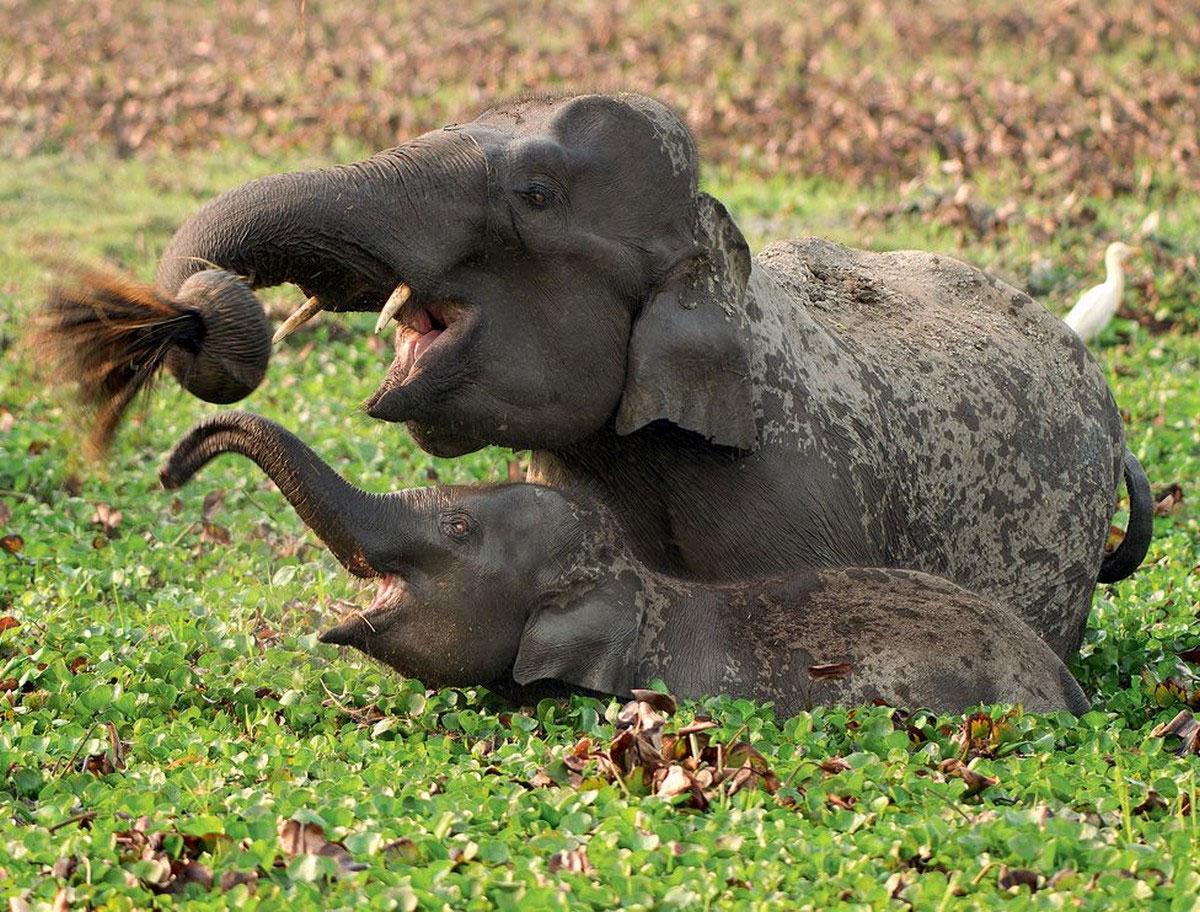 Дикие слоны