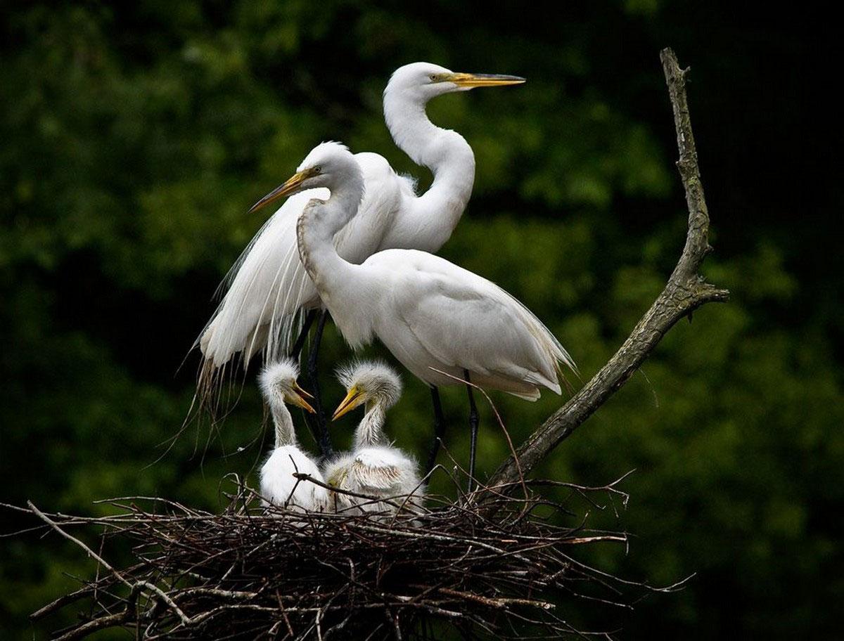Гнездование белых цапель