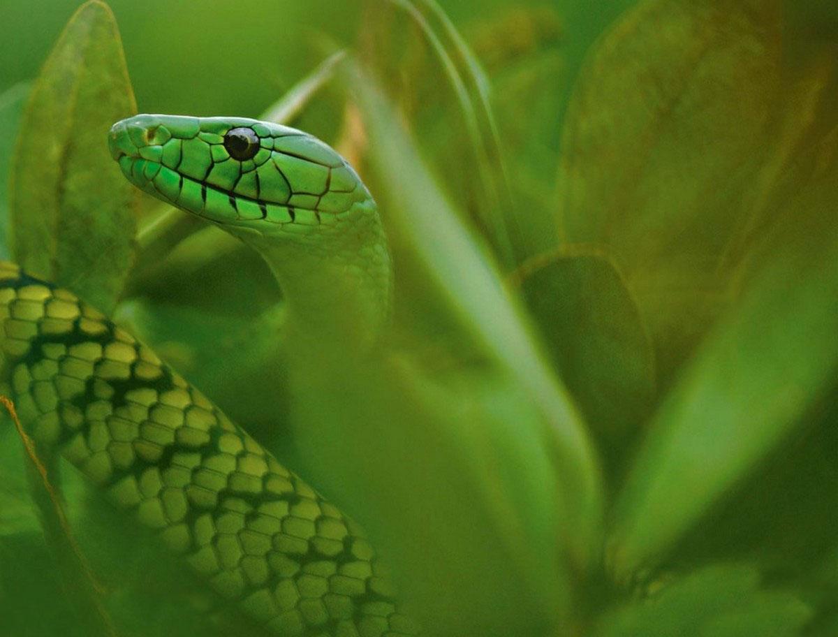 змея мамба