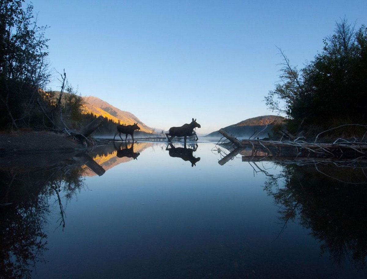 лоси на озере