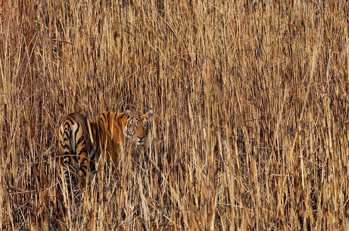 тигр в траве