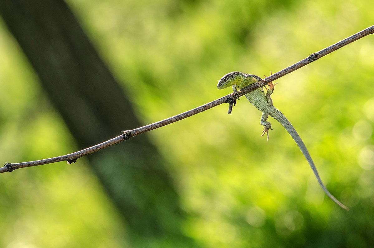 Ящерка зеленая