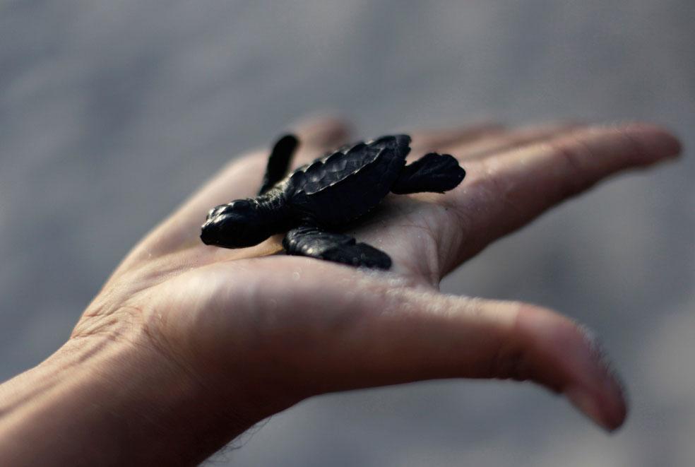 оливковая черепаха, фото