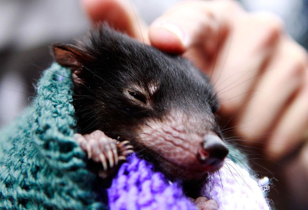 Детеныш тасманийского дьявола, фото