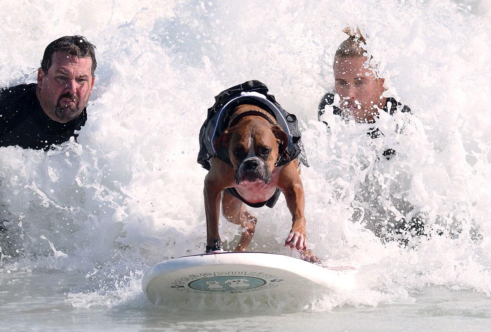 во время ежегодного конкурса собак-серфингистов, фото