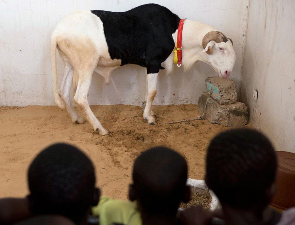 фестиваль овец, фото