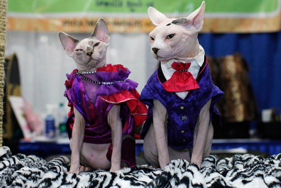 кошка в костюме, фото