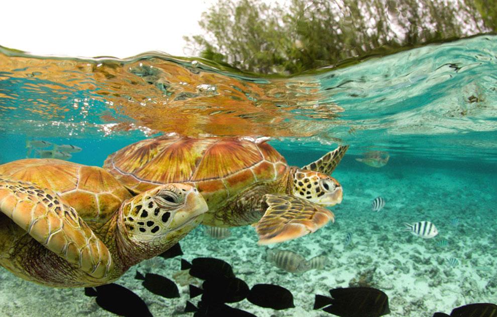 зеленые морские черепахи, фото