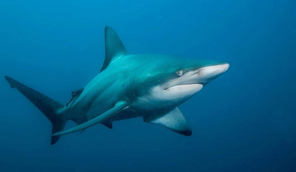 Голубая акула, фото