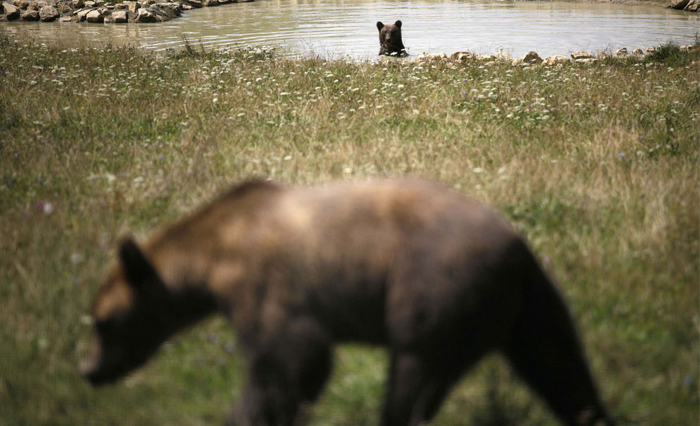 бурые медведи, фото