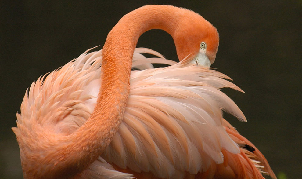 Чилийский розовый фламинго, фото