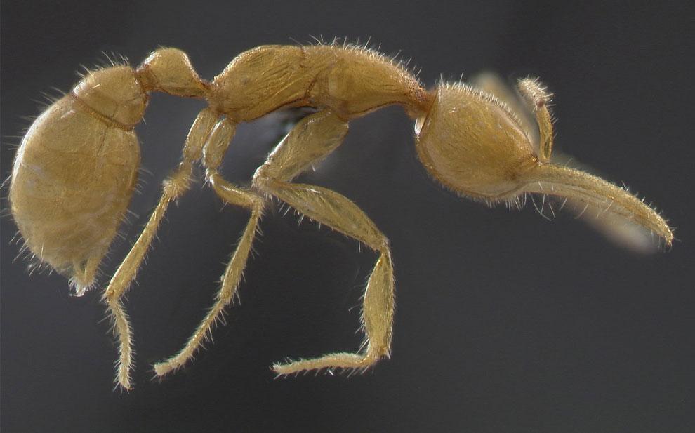 муравьи слепые, фото