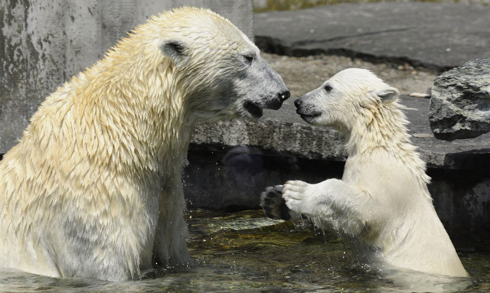 белый медведь, фото