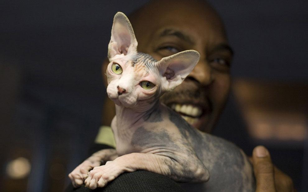 сфинкс кошка, фото